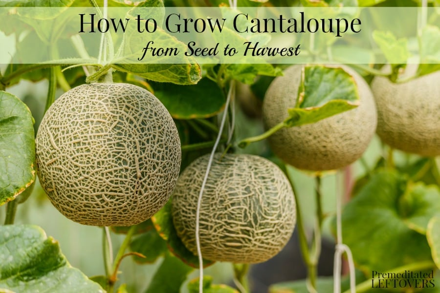 How to Grow Cantaloupe from Seed to Harvest
