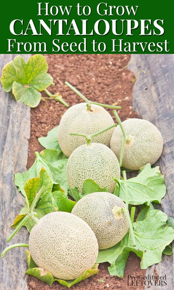 Gardening tips for growing cantaloupe, including how to plant cantaloupe seeds, how to transplant cantaloupe seedlings, how to grow cantaloupes in your garden, and how to harvest cantaloupe.