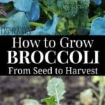 how to grow broccoli in your garden