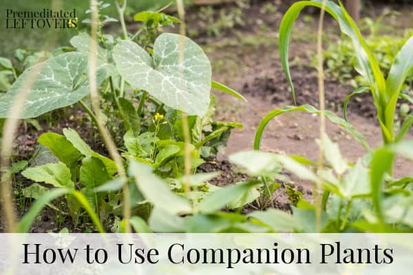 Three good companion plants, corn, beans, and squash growing in the garden together.