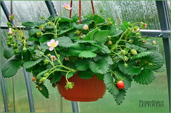 Strawberries growing in a hanging planter. A container garden idea