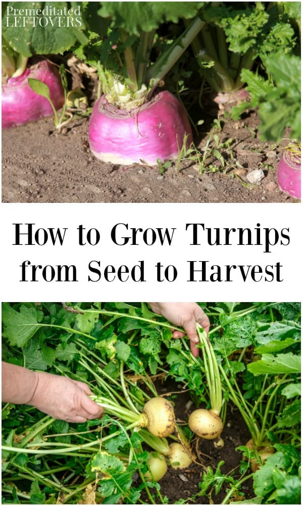 How To Grow Custard Apple: How To Grow Turnips In Your Garden