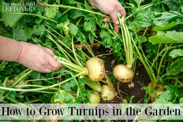 Pulling turnips from the garden