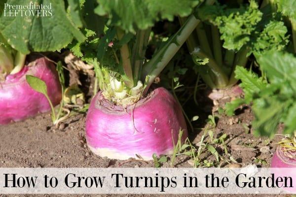 Turnips growing in a garden