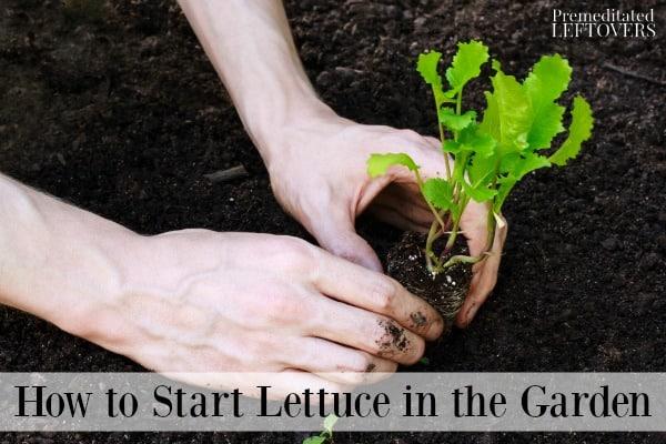 Planting a lettuce seedling