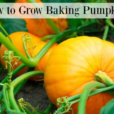 Baking pumpkins growing in the garden