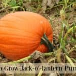 Growing Jack-o'-lantern pumpkins