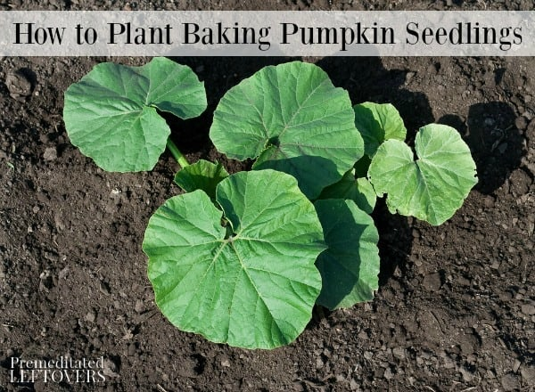 Baking pumpkin seedlings