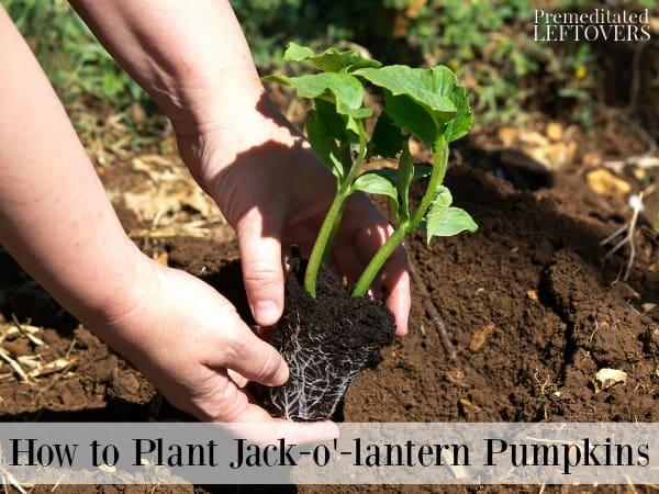 Planting Jack-o'-lantern pumpkin seedling