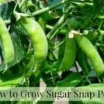 Growing sugar snap peas in the garden