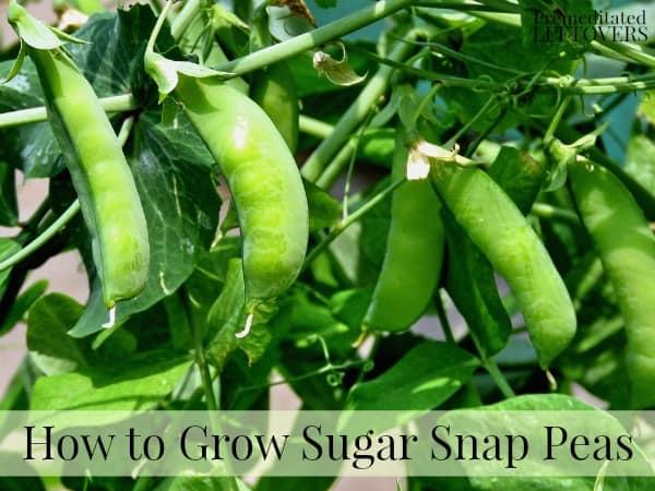 Growing sugar snap peas in the garden