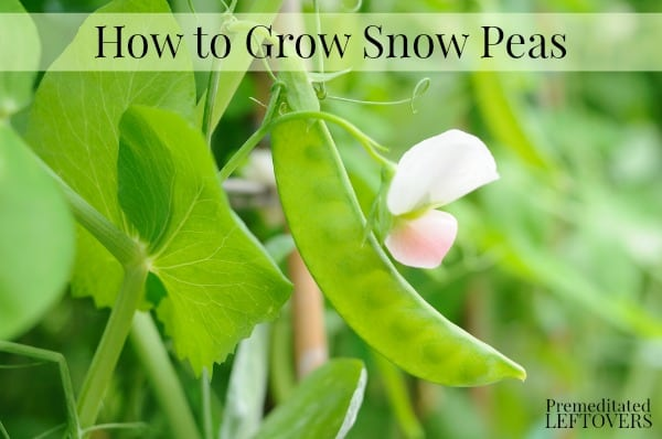 Snow peas growing in garden