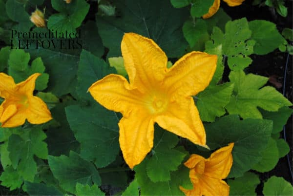 Tips for growing acorn squash in your vegetable garden.