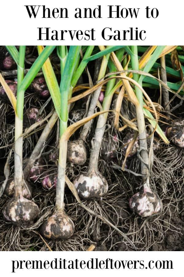 Garlic ready to harvest