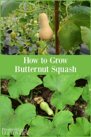 Growing butternut squash