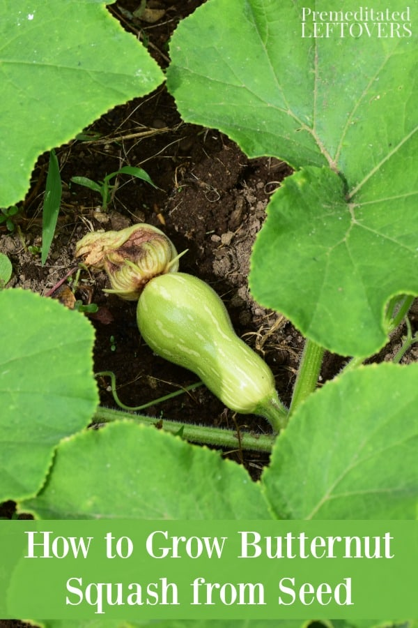 How To Grow Butternut Squash From Seed To Harvest
