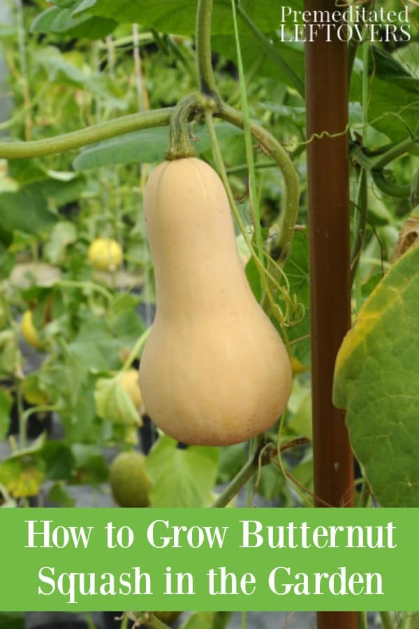 How to grow butternut squash in the garden