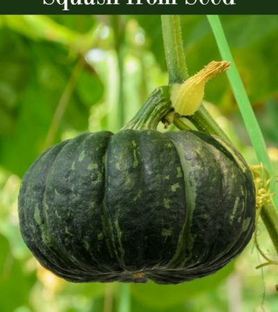 How to grow kabocha squash