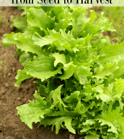 How to grow endive