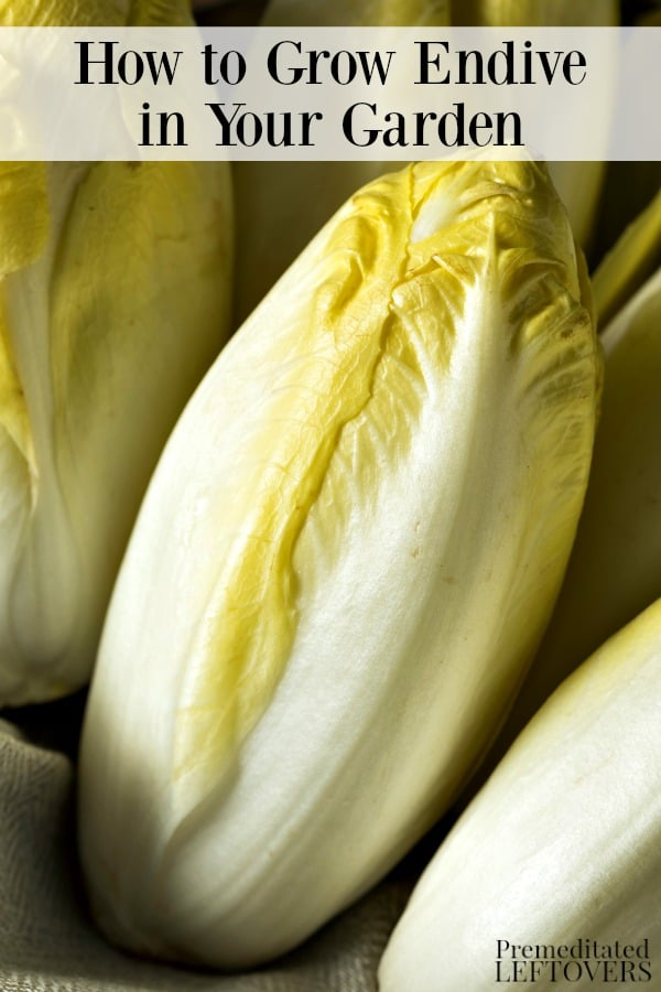 This complete guide on how to grow endive will teach you how to start endive seeds, plant seedlings, harvest endive greens, and grow endive in containers.