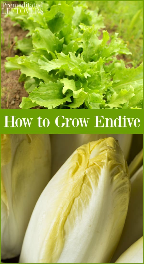 How to grow endive from seed to harvest