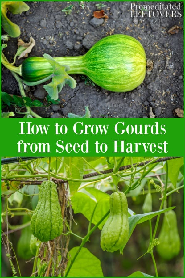Tips for growing gourds