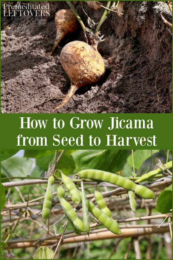 How To Grow Custard Apple: How To Grow Jicama: Tips For Planting, Caring For, And