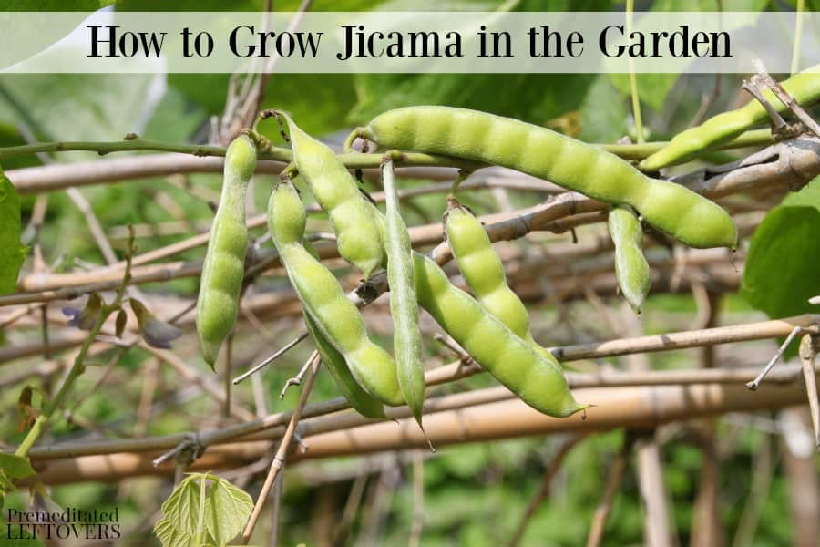 Growing jicama