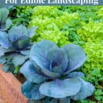 How to use herbs and vegetables in your yard as edible landscaping.