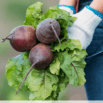 Frost resistant winter vegetables to grow