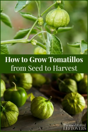 Growing tomatillos from seed to harvest