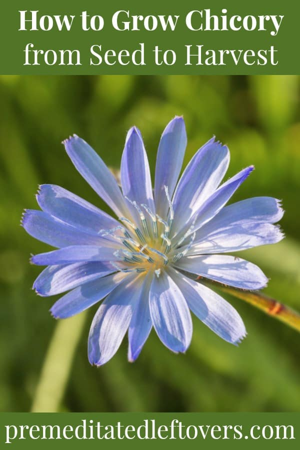 Chicory flower growing in the garden