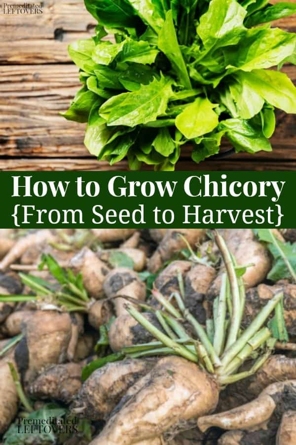 How to Grow Chicory from seed to harvest
