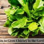 How to grow chicory greens