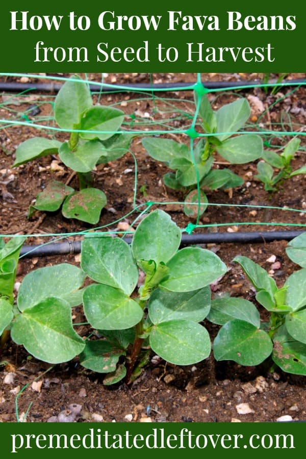 Fava bean plants in the garden