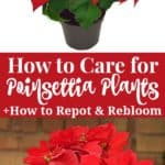 how to care for poinsettia plants including how to transplant and rebloom poinsettias