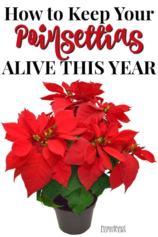 This is how to keep your poinsettia plant alive this year. Use these gardening tips to care for poinsettias, including watering, feeding, and transplanting so they will live beyond the holidays and rebloom next Christmas.