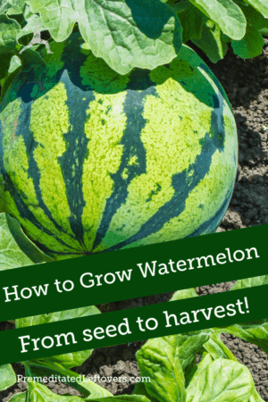 Use these tips on How to Grow Watermelon in your garden this summer. Tips for growing watermelon, including how to plant watermelon seeds and watermelon seedlings, and how to harvest watermelon.