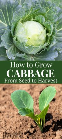 gardening tips for growing cabbage from seed to harvest