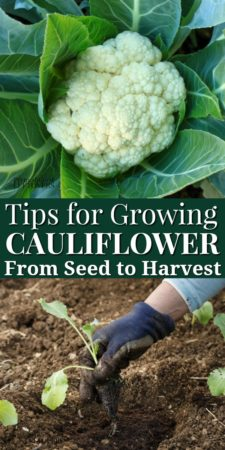 Gardening tips for growing cauliflower.