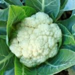 a mature head of cauliflower growing in a garden