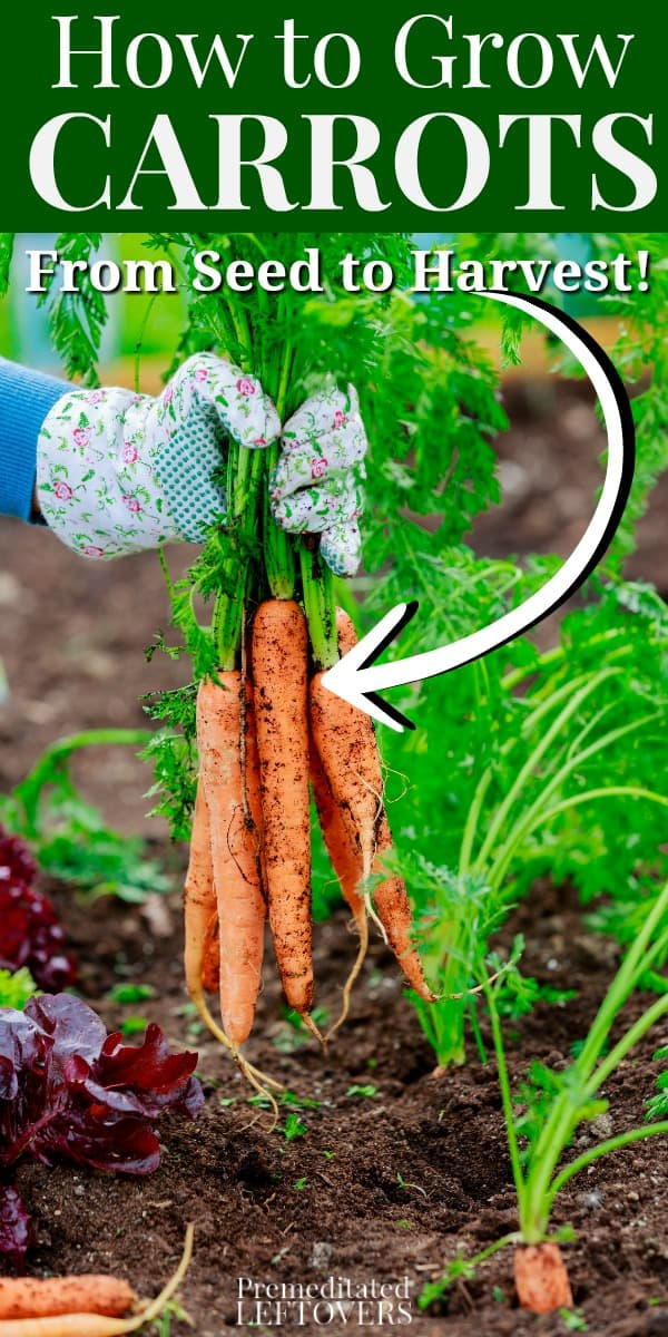 How to grow carrots in your garden this year. Tips for Growing Carrots in the Garden, including how to start carrot seeds, how to transplant and care for carrot seedlings, and how to harvest carrots.