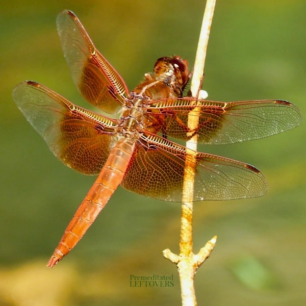 A brown dragonfly on a branch.