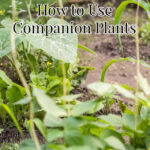 three good companion plants, corn, beans, and squash growing in the garden together