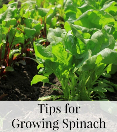 how to grow spinach from seed to harvest in your garden